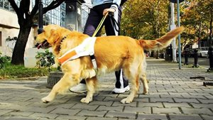 yellow dog with harness guiding person on brick sidewalk